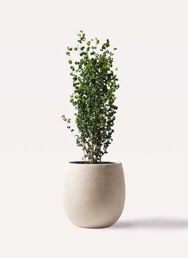 観葉植物 フィカス ベンジャミン 7号 バロック テラニアス バルーン アンティークホワイト 付き