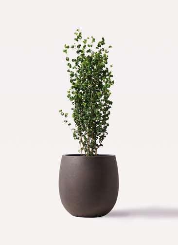観葉植物 フィカス ベンジャミン 7号 バロック テラニアス バルーン アンティークブラウン 付き