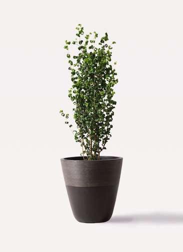 観葉植物 フィカス ベンジャミン 7号 バロック ジュピター 黒 付き