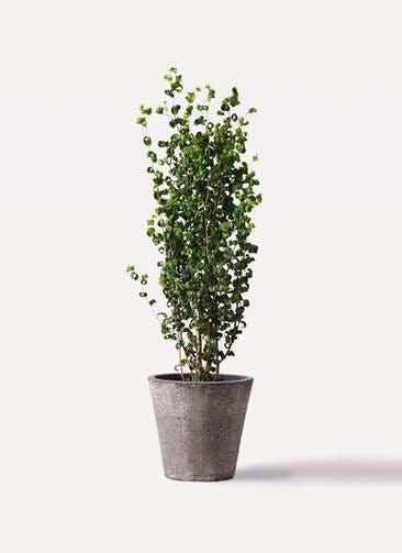 観葉植物 フィカス ベンジャミン 7号 バロック フォリオソリッド ブラックウォッシュ 付き