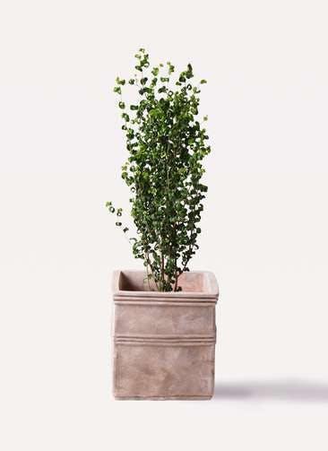 観葉植物 フィカス ベンジャミン 7号 バロック テラアストラ カペラキュビ 赤茶色 付き