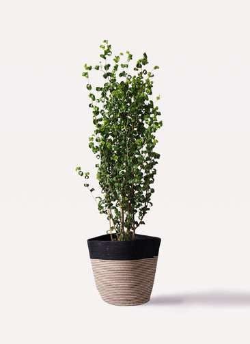 観葉植物 フィカス ベンジャミン 7号 バロック リブバスケットNatural and Black 付き