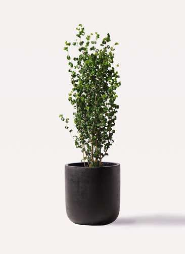 観葉植物 フィカス ベンジャミン 7号 バロック エルバ 黒 付き
