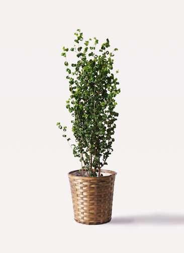 観葉植物 フィカス ベンジャミン 7号 バロック 竹バスケット 付き