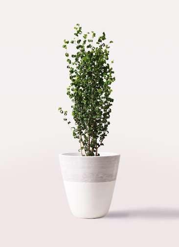 観葉植物 フィカス ベンジャミン 7号 バロック ジュピター 白 付き