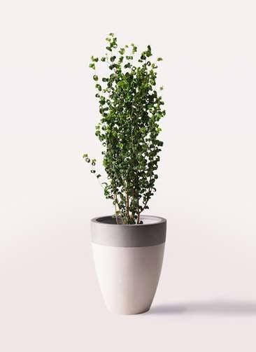 観葉植物 フィカス ベンジャミン 7号 バロック ファイバーストーンカプリ サンディホワイト 付き