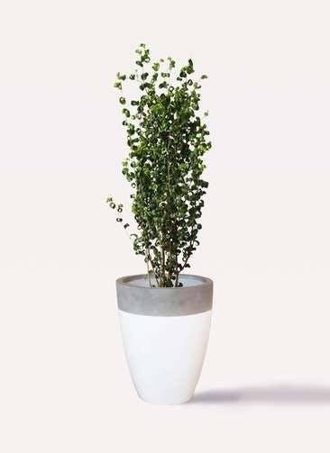 観葉植物 フィカス ベンジャミン 7号 バロック ファイバーストーンカプリ 白 付き