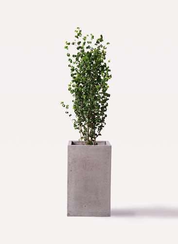 観葉植物 フィカス ベンジャミン 7号 バロック セドナロング グレイ 付き