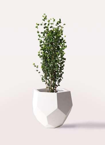 観葉植物 フィカス ベンジャミン 7号 バロック ポリゴヘクサ 白 付き
