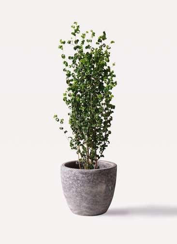 観葉植物 フィカス ベンジャミン 7号 バロック アビスソニアミドル 灰 付き