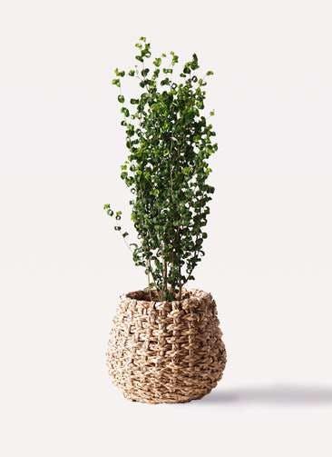 観葉植物 フィカス ベンジャミン 7号 バロック ラッシュバスケット Natural 付き