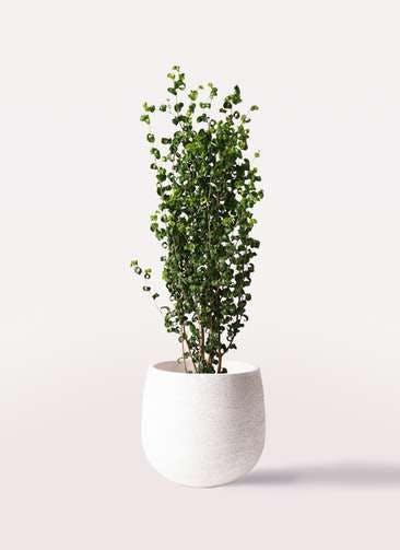観葉植物 フィカス ベンジャミン 7号 バロック エコストーンwhite 付き