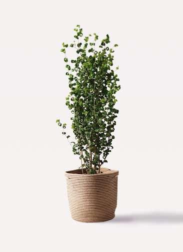 観葉植物 フィカス ベンジャミン 7号 バロック リブバスケットNatural 付き