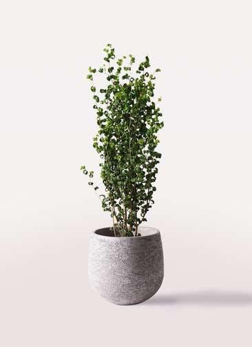 観葉植物 フィカス ベンジャミン 7号 バロック エコストーンGray 付き
