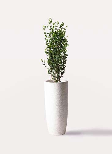 観葉植物 フィカス ベンジャミン 7号 バロック エコストーントールタイプ white 付き