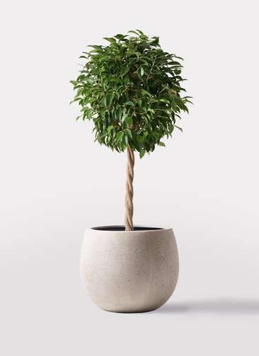 観葉植物 フィカス ベンジャミン 8号 玉造り テラニアス ローバルーン アンティークホワイト 付き