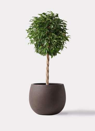 観葉植物 フィカス ベンジャミン 8号 玉造り テラニアス ローバルーン アンティークブラウン 付き