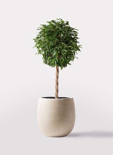 観葉植物 フィカス ベンジャミン 8号 玉造り テラニアス バルーン アンティークホワイト 付き