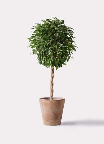 観葉植物 フィカス ベンジャミン 8号 玉造り ルーガ アンティコ ソリッド 付き