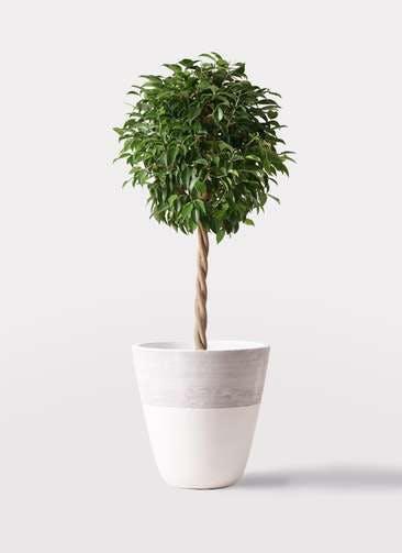 観葉植物 フィカス ベンジャミン 8号 玉造り ジュピター 白 付き
