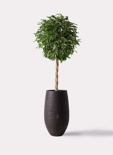 観葉植物 フィカス ベンジャミン 8号 玉造り フォンティーヌトール 黒 付き