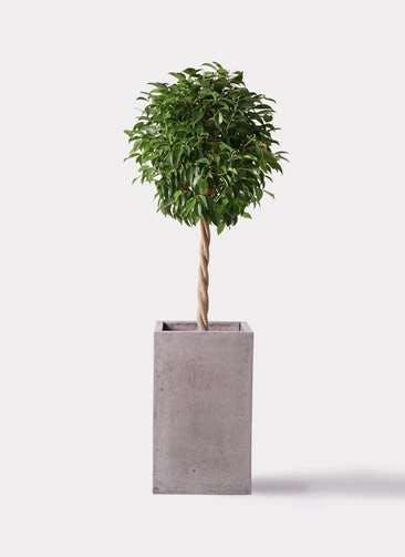観葉植物 フィカス ベンジャミン 8号 玉造り セドナロング グレイ 付き