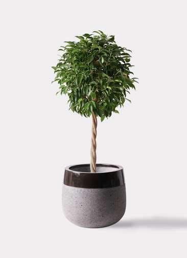 観葉植物 フィカス ベンジャミン 8号 玉造り ファイバーストーンタウルス 黒 付き