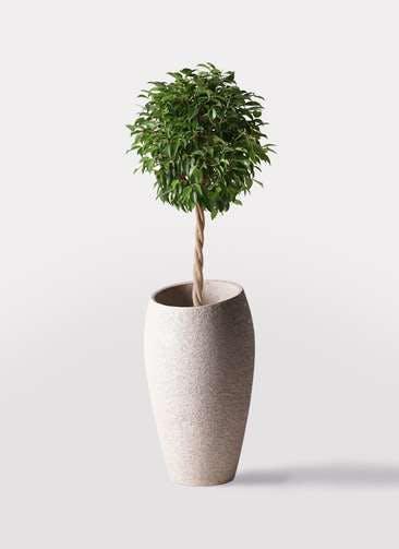 観葉植物 フィカス ベンジャミン 8号 玉造り エコストーントールタイプ Light Gray 付き