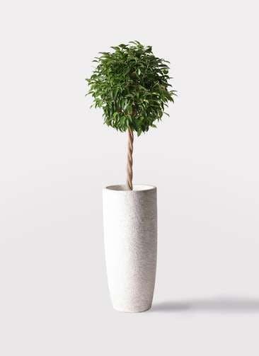観葉植物 フィカス ベンジャミン 8号 玉造り エコストーントールタイプ white 付き