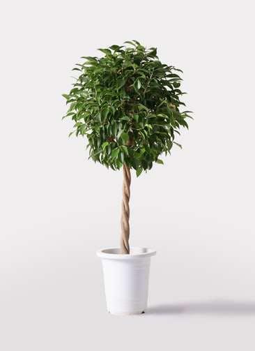観葉植物 フィカス ベンジャミン 8号 玉造り プラスチック鉢