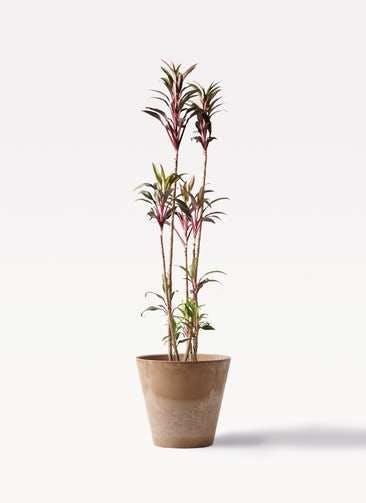 観葉植物 コルディリネ (コルジリネ) ターミナリス 8号 アートストーン ラウンド ベージュ 付き