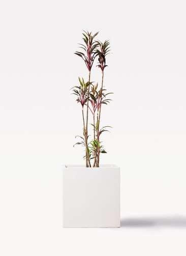 観葉植物 コルディリネ (コルジリネ) ターミナリス 8号 バスク キューブ 付き