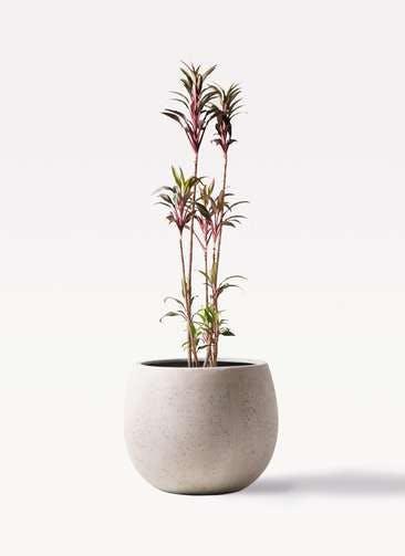 観葉植物 コルディリネ (コルジリネ) ターミナリス 8号 テラニアス ローバルーン アンティークホワイト 付き