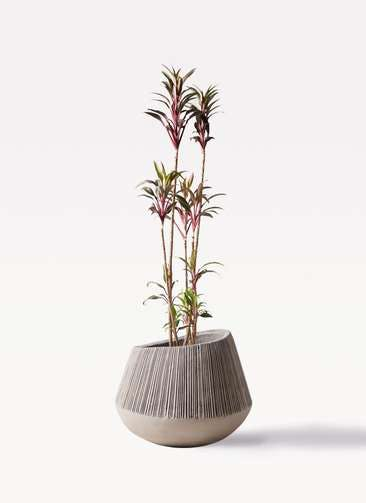 観葉植物 コルディリネ (コルジリネ) ターミナリス 8号 エディラウンド グレイ 付き