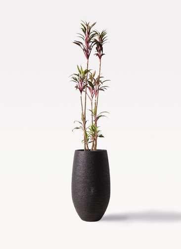 観葉植物 コルディリネ (コルジリネ) ターミナリス 8号 フォンティーヌトール 黒 付き