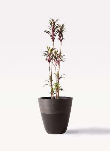観葉植物 コルディリネ (コルジリネ) ターミナリス 8号 ジュピター 黒 付き