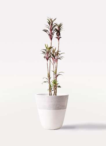 観葉植物 コルディリネ (コルジリネ) ターミナリス 8号 ジュピター 白 付き