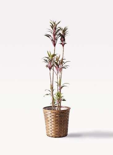 観葉植物 コルディリネ (コルジリネ) ターミナリス 8号 竹バスケット 付き