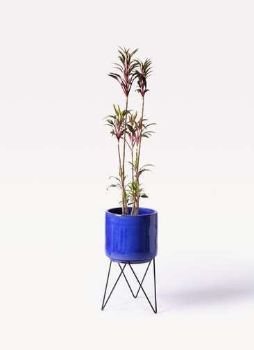 観葉植物 コルディリネ (コルジリネ) ターミナリス 8号 ビトロ エンデカ ブルー アイアンポットスタンド ブラック 付き