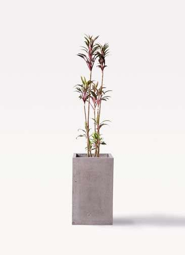 観葉植物 コルディリネ (コルジリネ) ターミナリス 8号 セドナロング グレイ 付き