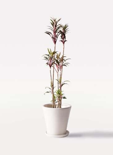 観葉植物 コルディリネ (コルジリネ) ターミナリス 8号 サブリナ 白 付き