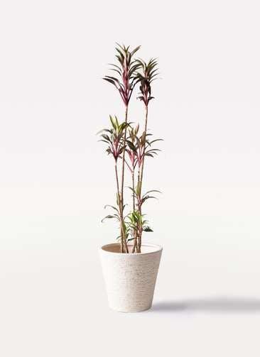 観葉植物 コルディリネ (コルジリネ) ターミナリス 8号 ビアスソリッド 白 付き