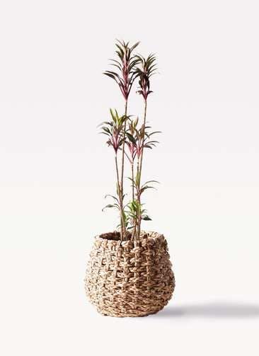観葉植物 コルディリネ (コルジリネ) ターミナリス 8号 ラッシュバスケット Natural 付き