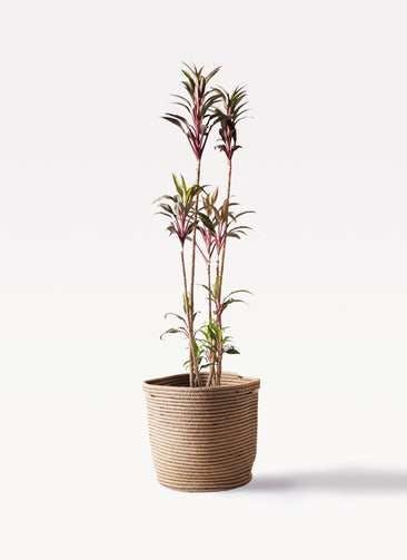 観葉植物 コルディリネ (コルジリネ) ターミナリス 8号 リブバスケットNatural 付き