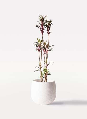 観葉植物 コルディリネ (コルジリネ) ターミナリス 8号 エコストーンwhite 付き