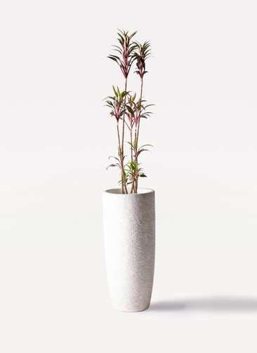 観葉植物 コルディリネ (コルジリネ) ターミナリス 8号 エコストーントールタイプ white 付き