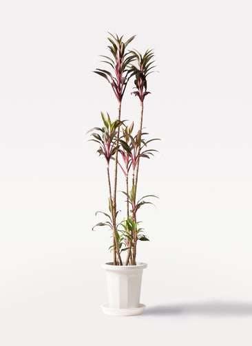 観葉植物 コルディリネ (コルジリネ) ターミナリス 8号 プラスチック鉢