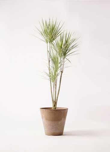 観葉植物 コンシンネ ホワイポリー 8号 ストレート アートストーン ラウンド ベージュ 付き