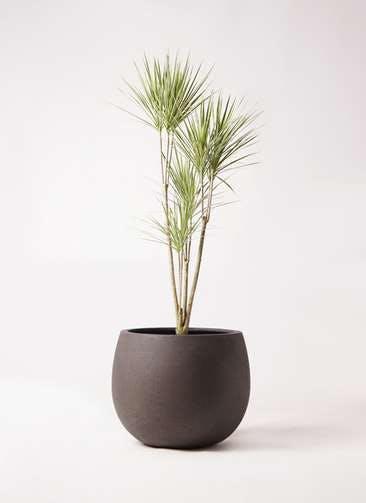 観葉植物 コンシンネ ホワイポリー 8号 ストレート テラニアス ローバルーン アンティークブラウン 付き