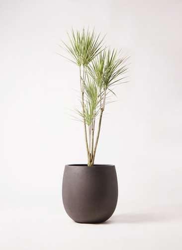 観葉植物 コンシンネ ホワイポリー 8号 ストレート テラニアス バルーン アンティークブラウン 付き